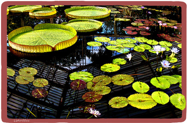 gardens,pond,water lilies